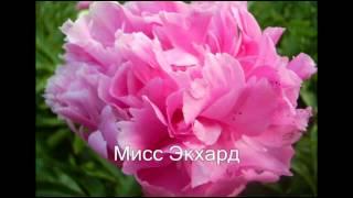 Многолетники в саду  ПИОНЫ  Названия и фото(Пионы цветут в конце весны,их очень любят дачники за пышную листву и крупные эффектные цветы. Пионы - многол..., 2015-02-26T14:47:01.000Z)