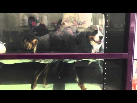 Bernese Mountain Dog Hydrotherapy