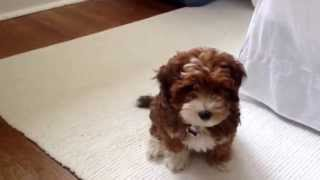 Meet Lil' Lucy (yorkie Poo)