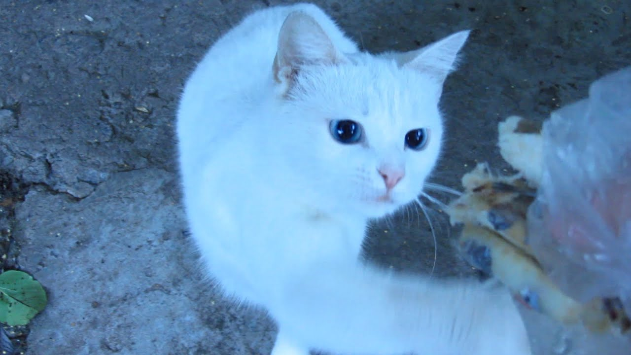 Hungry cat - White cat ate 6 pcs of fish - YouTube