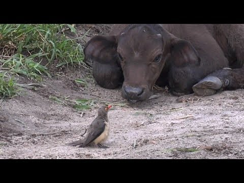 SafariLive Feb 22- Oxpeckers, Buffalo and a lot of ticks!
