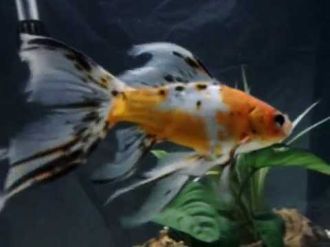 Shubunkin Goldfish - Tips and Characteristics