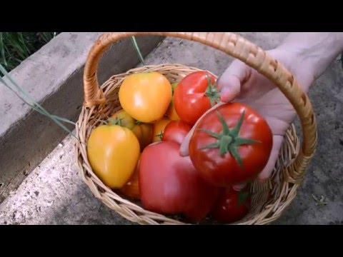 Томатное шоу любимые сорта помидор Дачная жизнь