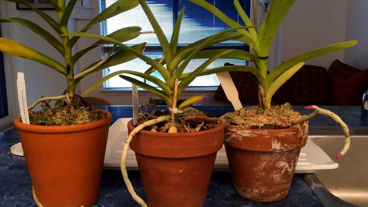 a94048f0c4d32c Growing Vanda Type Orchids In Pots Indoors  Watering Time and Update ...