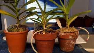 Growing Vanda Type Orchids In Pots Indoors: Watering Time and Update