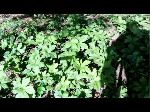 All about Goldenseal Root