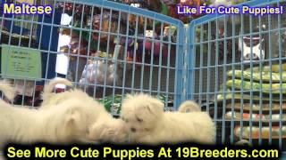Maltese, Puppies, For, Sale, In, Philadelphia, Pennsylvania, Pa, Borough, State, Erie, York