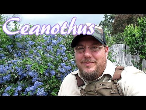 8 Reasons To Grow Ceanothus In Your Landscape!