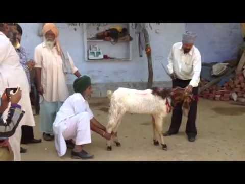 Goat killing