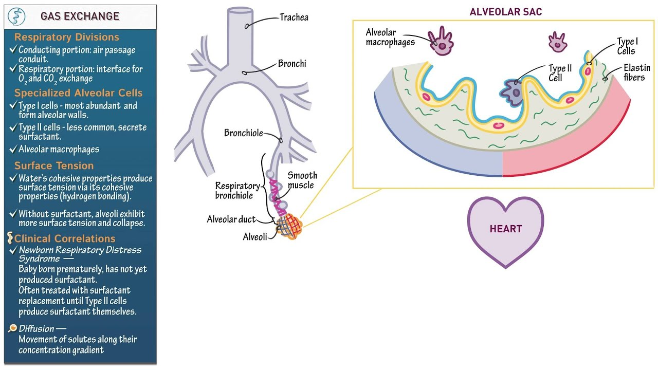 Anatomy and Physiology: Gas Exchange