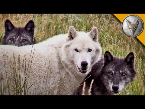 Thumbnail: Wolf Pack Meets a Coyote!
