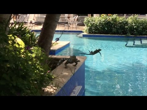Curaçao - Iguanas by the Pool HD (2016)