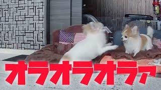 飼い主が出掛けたのを確認すると先住犬に喧嘩を仕掛ける暴君チワワ!