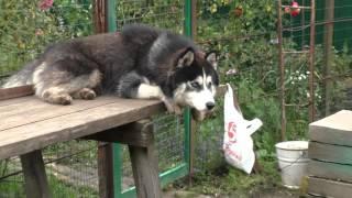 Влюленный Сибирский Хаски