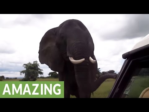 Wild African Elephant uses trunk to say hello