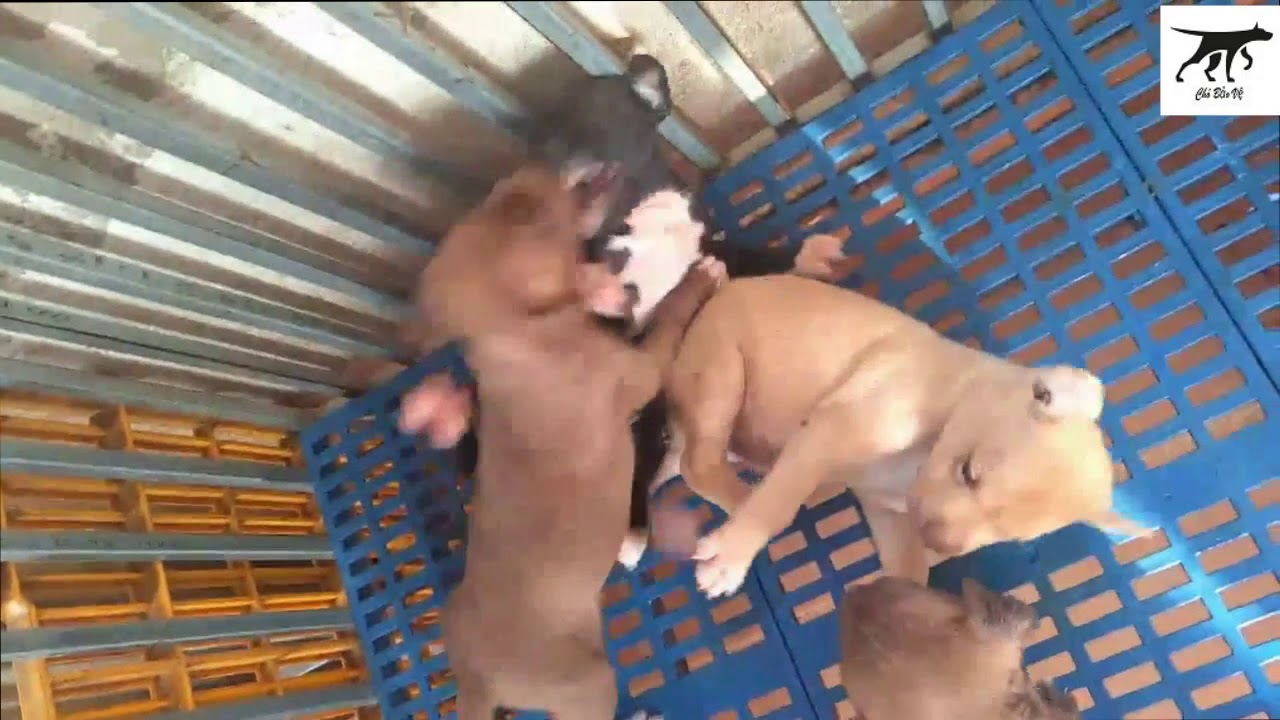 Mua Bán chó Pitbull tại Hà Nội & TPHCM Giá 6-8 Triệu