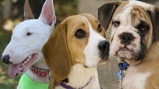Los perros ingleses más apetecidos del mundo, entre ellos: Bedlingt...
