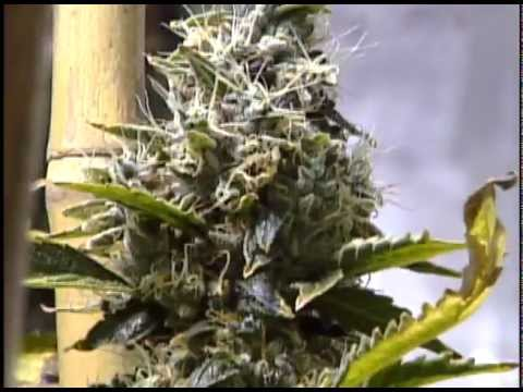 Amazing Miami illegal marijuana / weed grow house