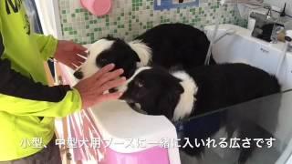 ボーダーコリーエマちゃんとレオンくんが入っている浴槽は小型、中型犬...