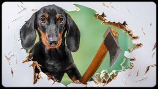 Puppy shenanigans! Cute & funny dachshund dog video!