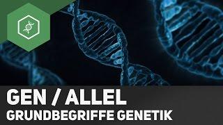 Gen / Allel - Unterschied - Grundbegriffe Genetik 2