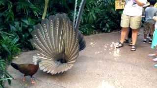 Great Argus Pheasant Mating Dance (argusianus argus)