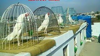 Aseel murga farm