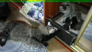 Папа-кот играет со своими котятами