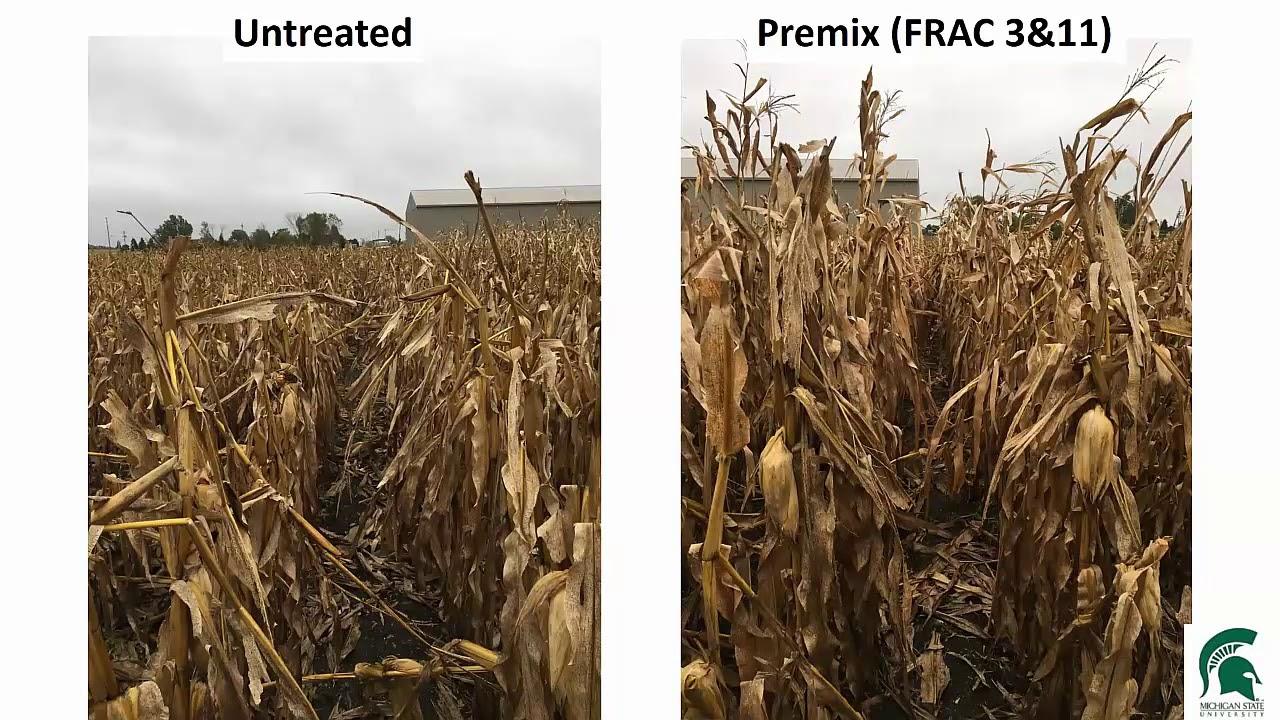 Virtual Breakfast 8-8-19: Update on field crop diseases