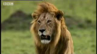 Cheetah vs lion - Big Cat Diary - BBC