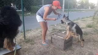 Дрессировка щенка немецкой овчарки. Учебные будни - видео