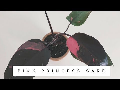 philodendron pink princess care | easy to care for house plant