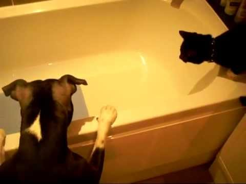 Dog baths cat (Original)