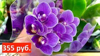 завоз ОРХИДЕИ новые КОРЕНАСТЫЕ орхидеи за 355 и 544 рубля