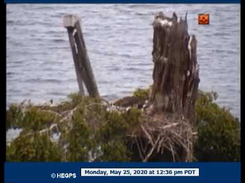 0525 1234 Eagle In With A Fish; Eaglets Are Fed
