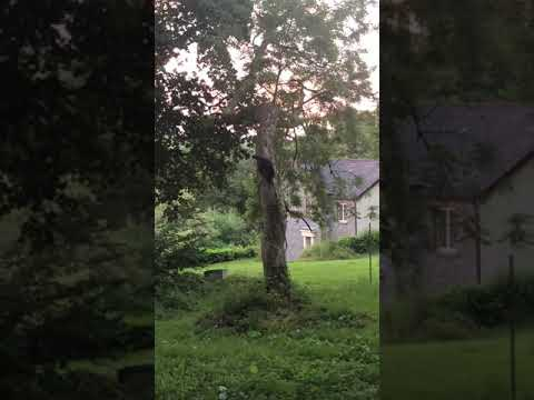 Norwegian Forest Cat descending headfirst down tree.