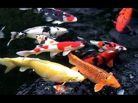 Koi fish pond large colourful koi carp youtube for Large koi fish