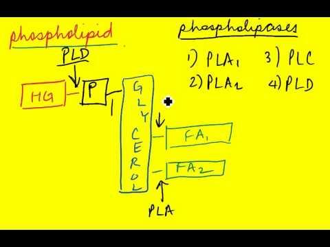 Signal Transduction 30 (Phospholipases)