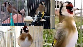 منافسة طائر الحسون : تحدي بين تسعة طيور الحسون من هو اقوى تغريد (من هو الاروع) الجزء الاول