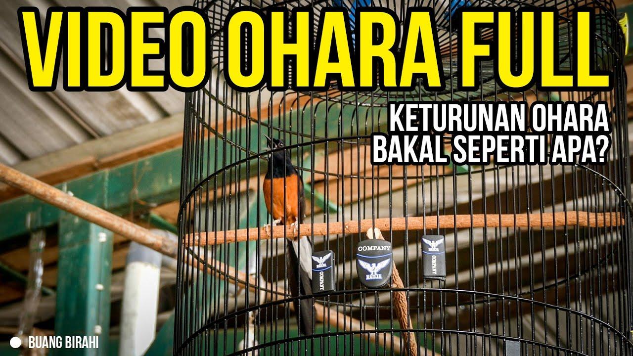 Mb Legend Ohara Andalan Mr. Prio Akan Punya Keturunan