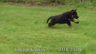 Watch our 2 month old Female German Shepherd Puppy as she demonstrates Obedience and Play