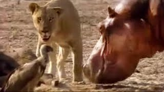 Lion vs hippo  - BBC wildlife Survival of the fittest animal species in a fight between the hippopotamus and lion of the african animal kingdom from BBC wildlife.   Watch more Hippo Beach clips with BBC Worldwide here: http://www.youtube.com/view_play_list?p=5A2B8E1C3034CE15