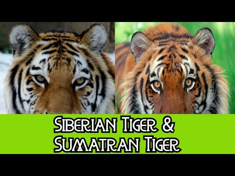 Siberian Tiger & Sumatran Tiger - The Differences