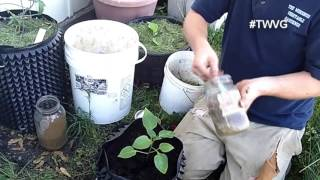 Growing Peppers in containers Quick Tip
