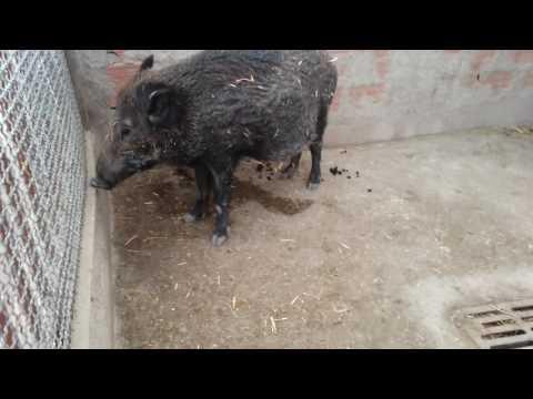 Wild pig, Setif Zoo, Algeria