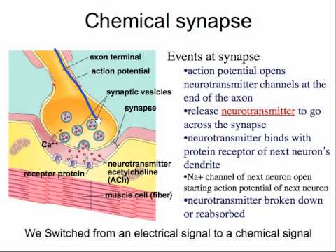 neuronal communication Nervous system organization • peripheral nervous system  • verbal communication  – neural control of hormonal release form.