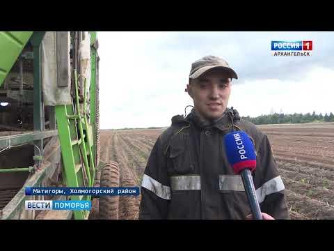 В Архангельской области собирают картофельный урожай