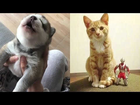 15 Day Old Husky Puppy Learning to Howl - Funny Pet Videos Compilation