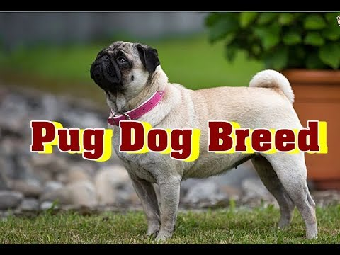Pug Dog | Pug Dog Breed Information