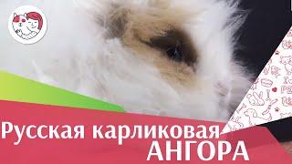 Кролик Русская карликовая ангора на ilikepet. Особенности породы, уход